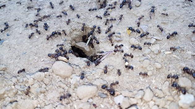 Karıncalar depremin habercisi mi? Uzmanlar o soruyu yanıtladı