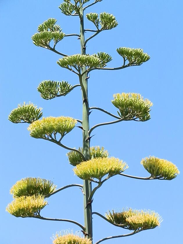 Ömründe bir kez çiçek açan 'Agave' bitkisi Foça'da da bulundu
