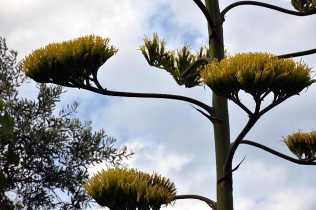 Marmaris'te çiçek açan agave bitkisi ilgi çekti