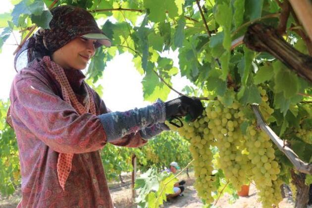 Buldan'da sezonun ilk çekirdeksiz üzüm hasadı başladı