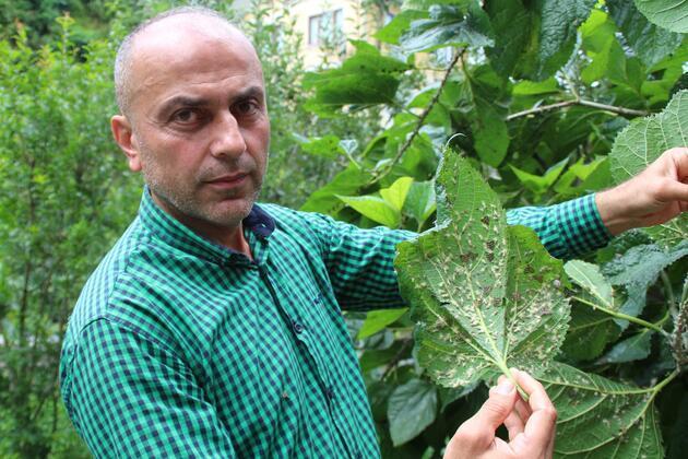 Doğu Karadeniz'de 'vampir' böcek alarmı... Vatandaşların korkulu rüyası