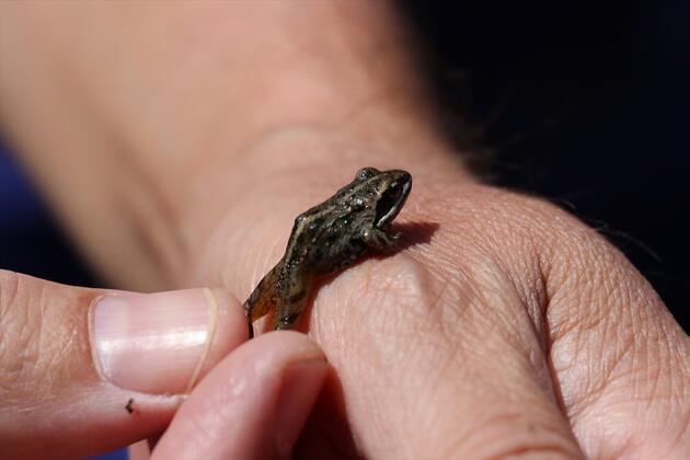 Nesli tehlike altında! Tavas Kurbağası için koruma projesi