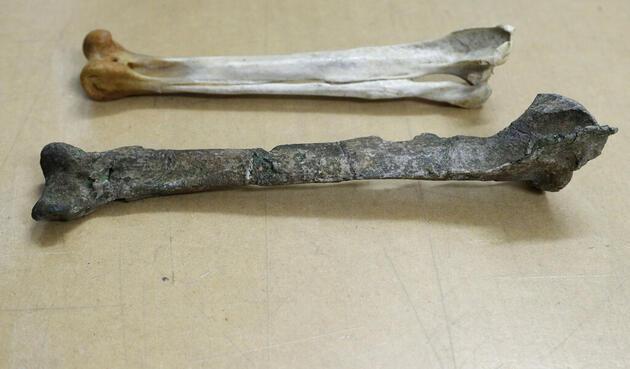 Yeni Zelanda'da insan boyunda penguen fosili bulundu