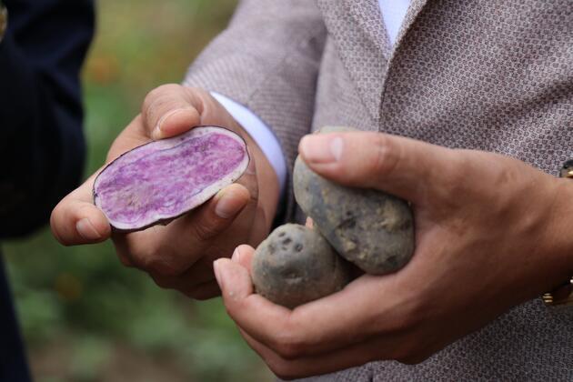 Bolu'da obezite, kanser düşmanı mor patates ilk kez topraktan çıkarıldı