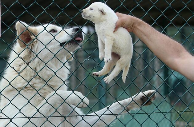 Akbaş köpekler 2 bin liradan alıcı buluyor