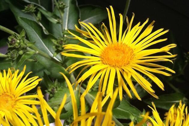 Bu bitkilerin mucizevi faydalarına çok şaşıracaksınız
