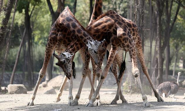 Zürafalar ilgi odağı oldu