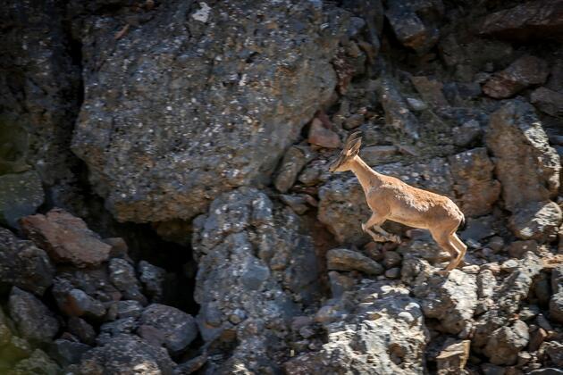 Yaban keçileri Tunceli'de görüntülendi