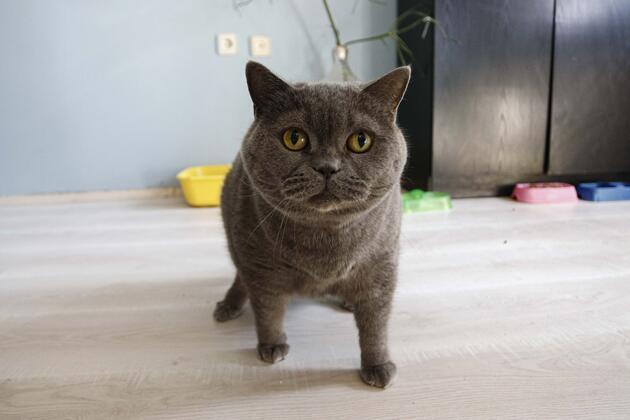 Obez kedi egzersizle 4,5 kilo verdi