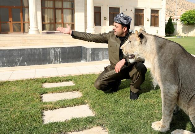 Çocuklarından ayrı tutmadığı aslanı evinde besliyor