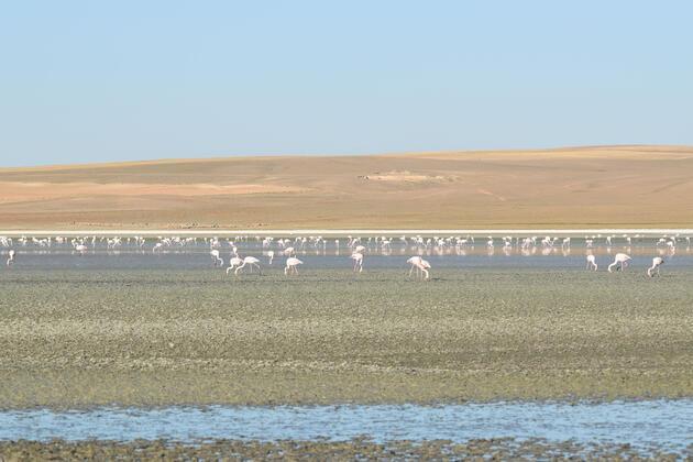 Flamingoların yaşam alanı kurudu