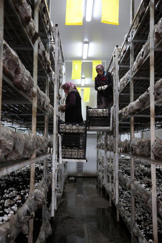 Mantarın başkenti... Türkiye'deki üretimin yüzde 54'ünü onlar yapıyor