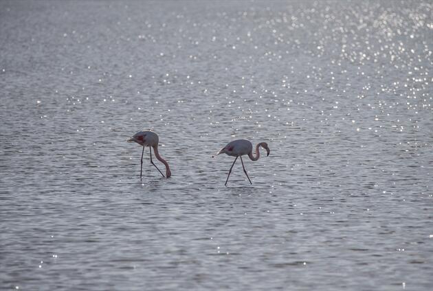 İzmir Kuş Cenneti flamingolara ev sahipliği yapıyor