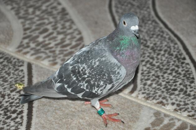 Hakkari'de Irak'tan gelen posta güvercini bulundu