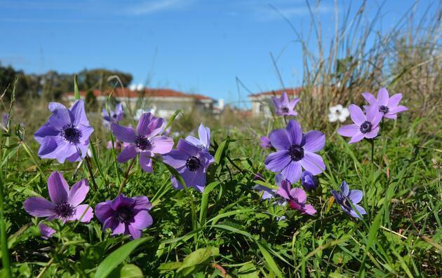 Datça'da baharın müjdecileri anemonlar açtı