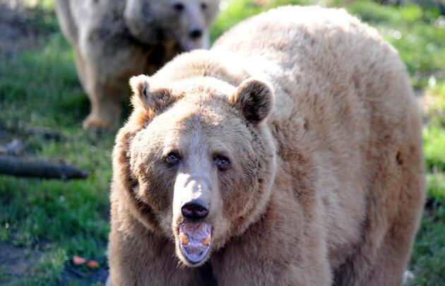 Bursa'da kış uykusuna yatmayan ayılara özel beslenme