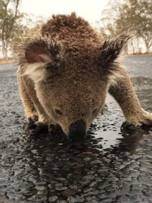 Avustralya'daki felakette yürek burkan görüntü: Yağmur yağdı, yoldaki su birikintisine koştu