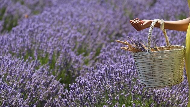 800 liralık lavanta çiçeğinden 20 bin liralık yağ elde ediyorlar