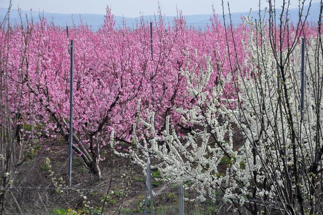Amik Ovası, baharın gelişiyle rengarenk oldu
