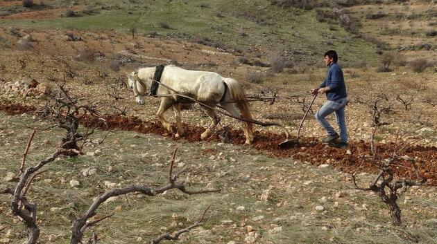 Engebeli tarlalar, binlerce yıllık gelenekle sürülüyor