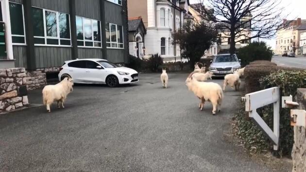 İngiltere'de koronavirüsten boş kalan sokaklara yabani keçiler indi