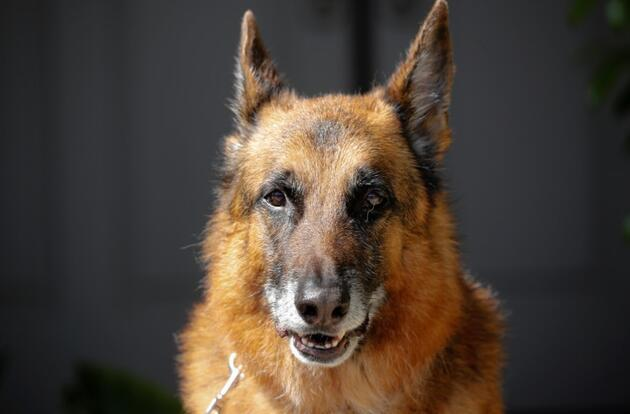 Önemli koronavirüs araştırması: Eğitimli köpekler Covid-19 hastalarını tespit edebiliyor
