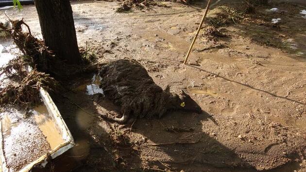 Erciş'te 74 koyun sele kapılarak öldü