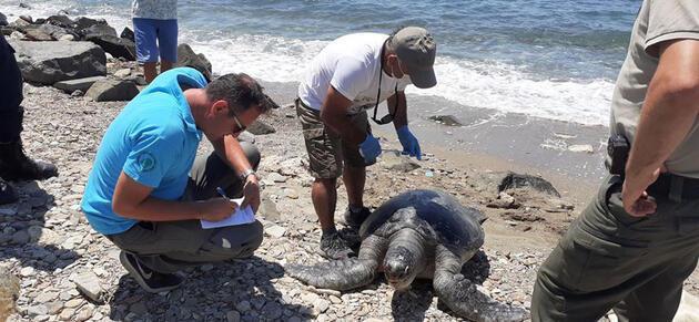 Kuşadası'nda en büyük erkek yeşil deniz kaplumbağası kıyıya vurdu
