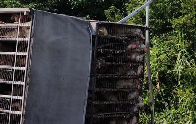 Tavuk yüklü kamyon şarampole yuvarlandı