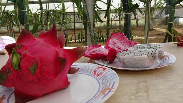 Tayland'da görüp Aydın'da yetiştirmeye başladı! Tanesini 15 liradan satıyor