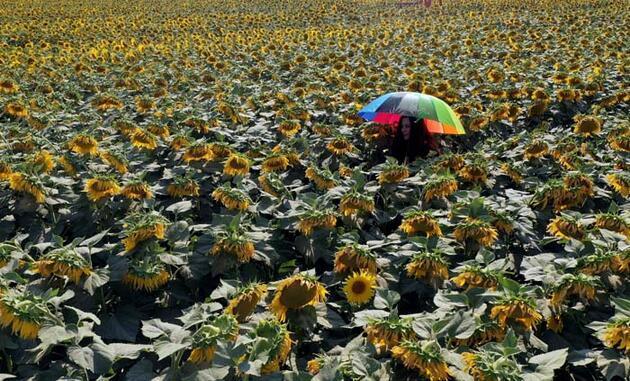 Ayçiçeği tarlalarının hasat öncesi güzelliği