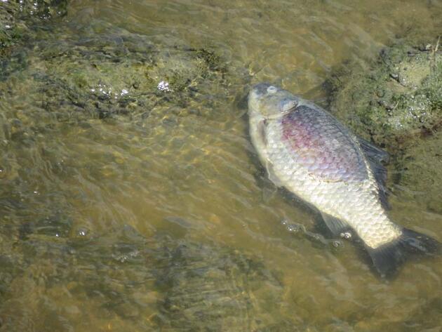 Çalışma başlatıldı! Endişelendiren balık ölümleri