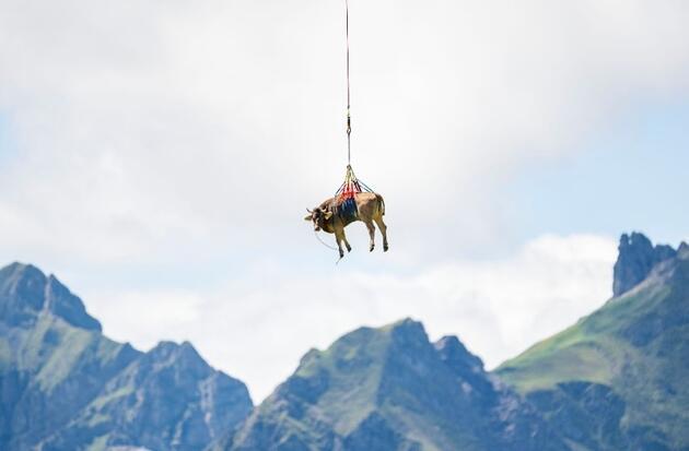 Yaralı inek helikopterle böyle taşındı