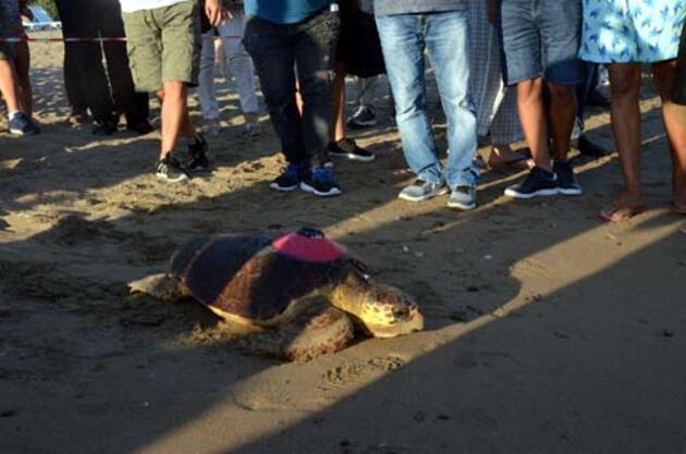 Tedavileri tamamlanan caretta carettalar denizle buluştu