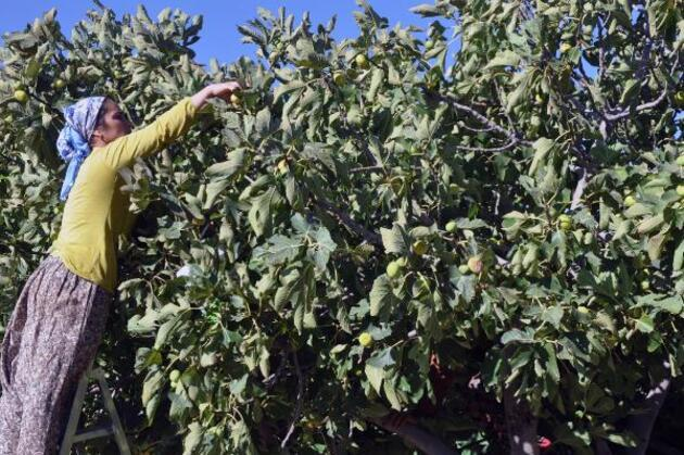 Son dakika..  9 çeşidin yetiştiği incirde hasat zamanı