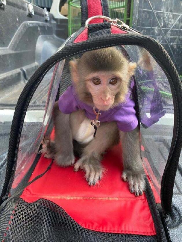 Son dakika.. 3.kez kaçak maymun alan sosyal medya fenomeni gözaltında
