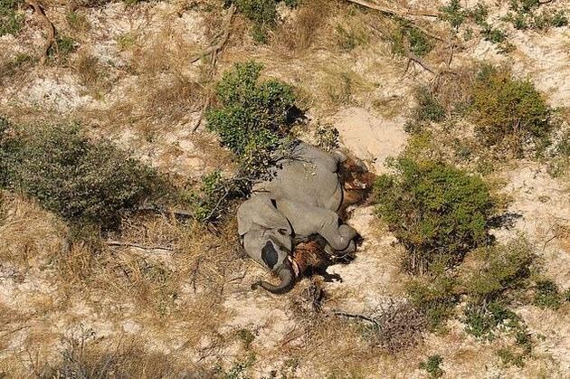 Bostvana'daki gizemli fil ölümlerinin nedeni belli oldu