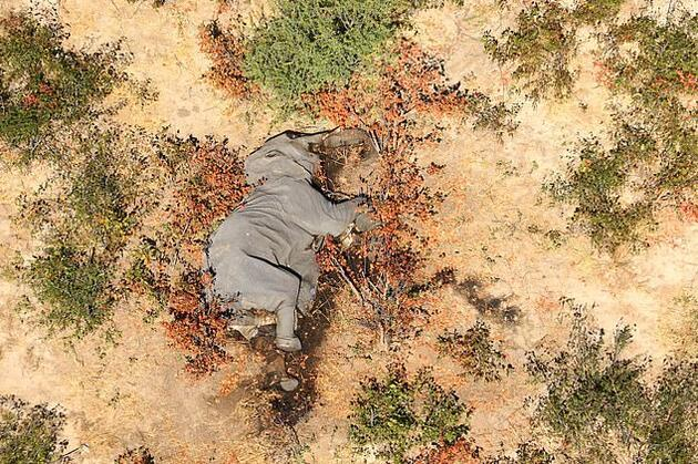 Yüzlerce fil ölmüştü! Nedeni belli oldu