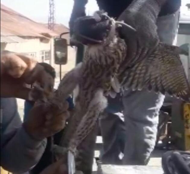 Son dakika.. Ayaklarına kuş ölüsü bağlanıp, başına maske takılan şahin kurtarıldı