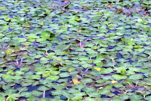 İğneada'daki eşsiz longoz ormanı ziyaretçilerini büyülüyor