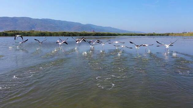 Fener Gölü'nde flamingo güzelliği
