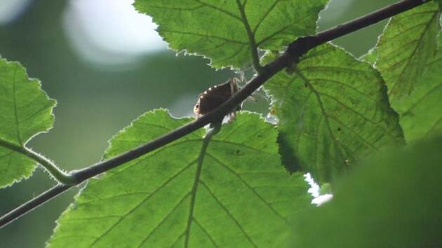 Kadıköylülerin başı kahverengi kokarca böceği ile dertte