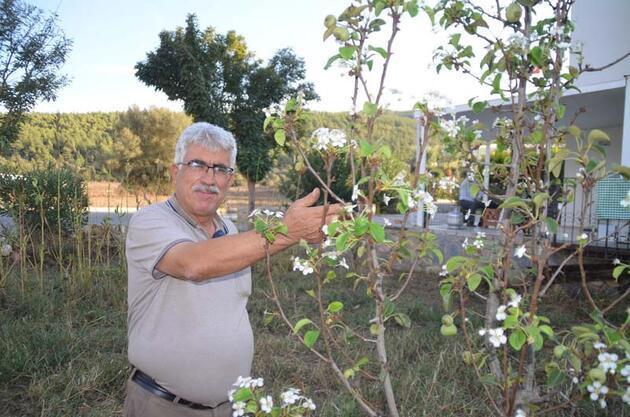 Ekim ayında çiçek açıp, meyve veren armut ağacı şaşırttı