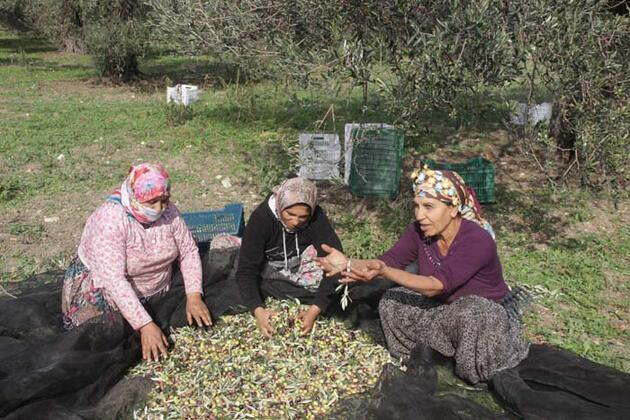 Koronavirüse karşı zeytin yaprağı çayı!
