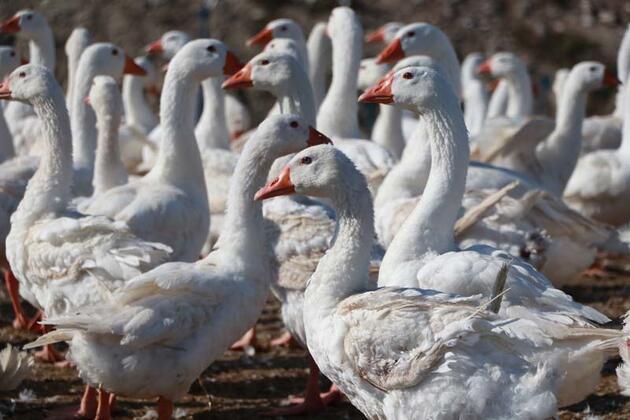 Hobi için beslediği kazlarla çiftlik kurdu, Türkiye'nin her yerine gönderiyor