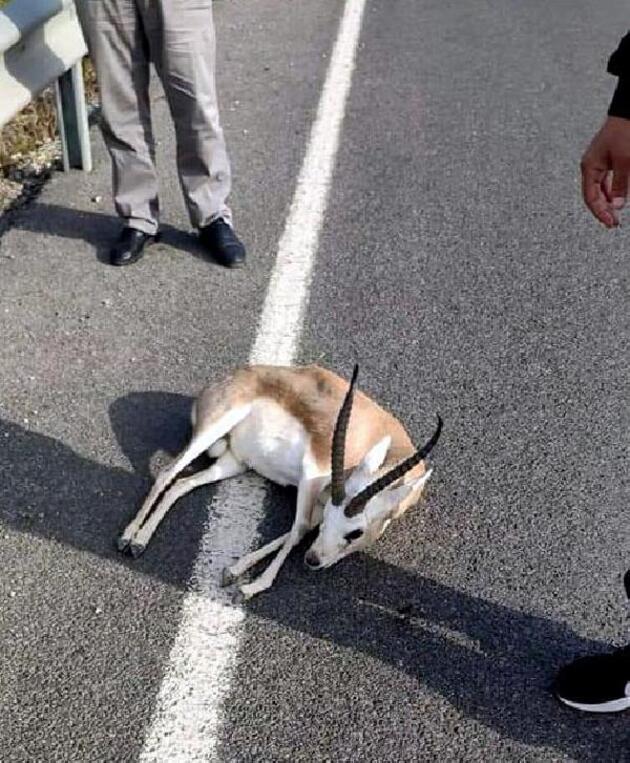 Yaralı ceylanı veteriner yerine evine götürdü