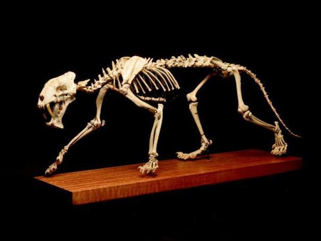 40 milyon yıllık iskelet satılıyor