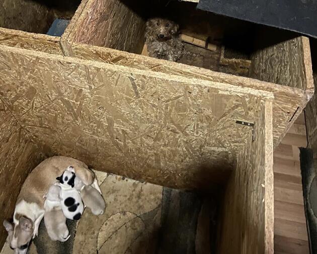 Akılalmaz iddia: Cins köpeklerin ses telleri alındı! Belediye sahip çıktı