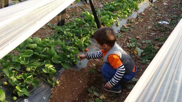 Şehir hayatından kaçan çift çilek bahçesi kurdu! 'Siparişlere yetişemiyoruz'