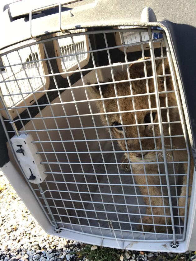İzmir'de bir çiftlikte aslan yavrusu bulundu